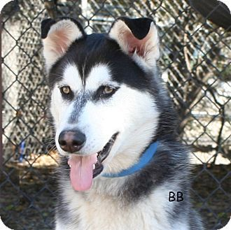 Siberian Husky Dog for adoption in Goleta, California - Dasher