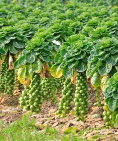 Brussels Sprouts plants grow best when planted for a fall harvest. Detailed growing tips for planting them in your fall vegetable garden.