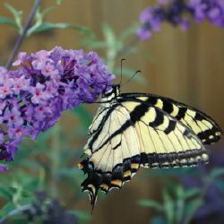 Has your client just asked you to include a butterfly garden in their landscape design? Or wondering if you should suggest adding one? Including plants tha