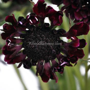 Burgundy Scabiosa Flower | Wholesale Bulk Scabiosa for Weddings