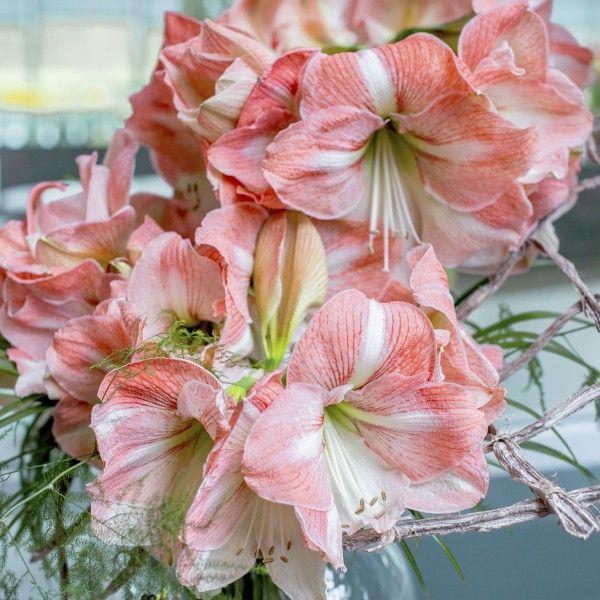 die amaryllis 39 sao paulo 39 bl ht in romantischem rosa wei. Black Bedroom Furniture Sets. Home Design Ideas
