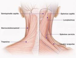 The trapeziusm levator scapulae, and sternocleiodmastoid muscles are difficult to classify according to location. The trapezius is so large that...