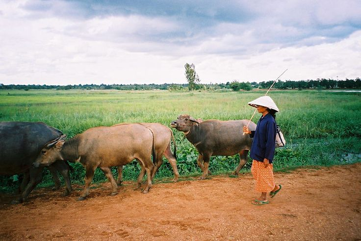 Herding water buffalo in Chaiyaphum Province.