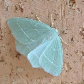 Gorgeous aqua winged moth; not sure what species