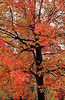 Acer Maple tree in red and orange autumn leaf colors and dark trunk