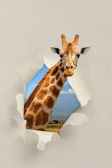 Giraffe looking through a hole torn the paper