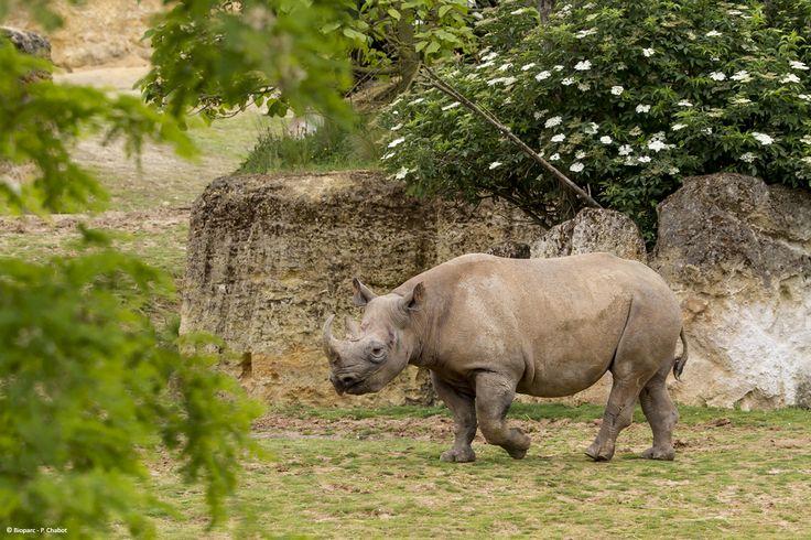 L'une de nos femelles rhinocéros noirs.