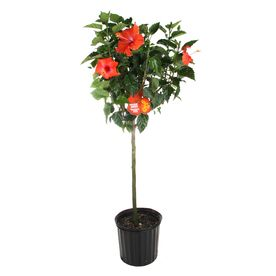 2-Gallon Mixed Hibiscus Tree Flowering Shrub Nursery