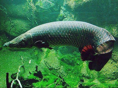 Como Criar Peixe Pirarucu em Caixa de Água - YouTube