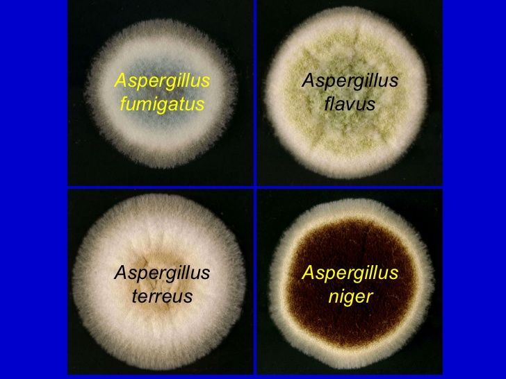 how to grow aspergillus niger