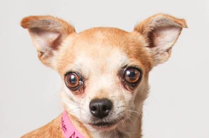 Petango.com – Meet Ginger, a 7 years 9 months Chihuahua, Short Coat available for adoption in COLORADO SPRINGS, COShe enjoys her quiet times, but can be fearful of loud noises