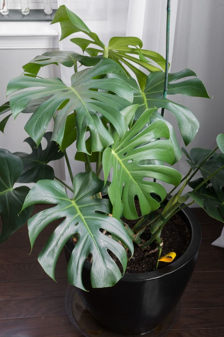 Monstera Deliciosa Care Guide Growing Monstera Deliciosa Indoors Monstera Deliciosa Care Monstera Deliciosa Peperomia Plant