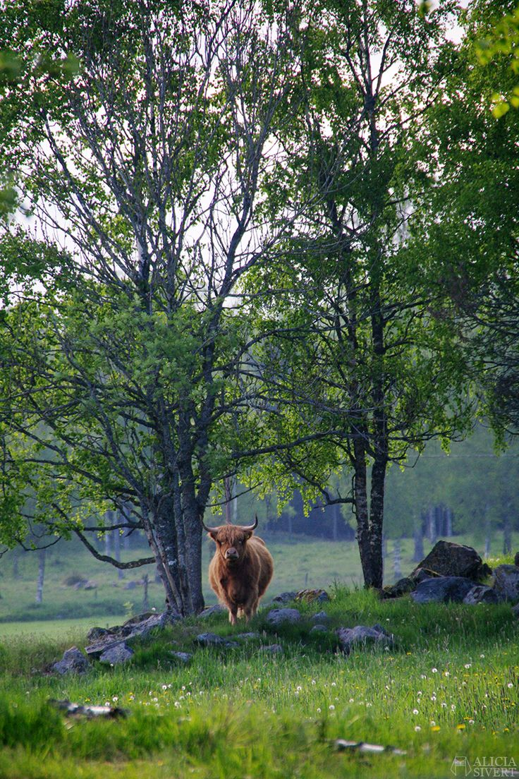 Scottish highland cattle, photo by Alicia Sivertsson.