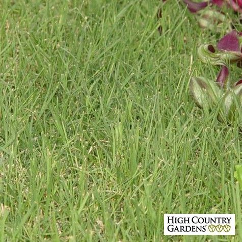 Prestige is the latest release from the University of Nebraska. Recommended for use in the southern and southeastern parts of the US because of its tolerance to heat and humidity. We recommend using Organic Plant Magic as a root dip to spur grass plug growth. Drought resistant/drought tolerant plant (xeric).