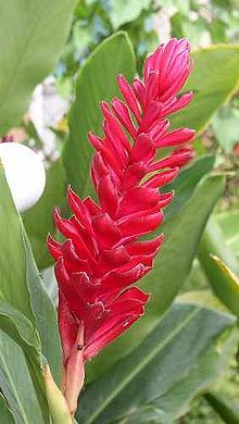 Red Ginger Plant (Alpinia purpurata). Perennial.