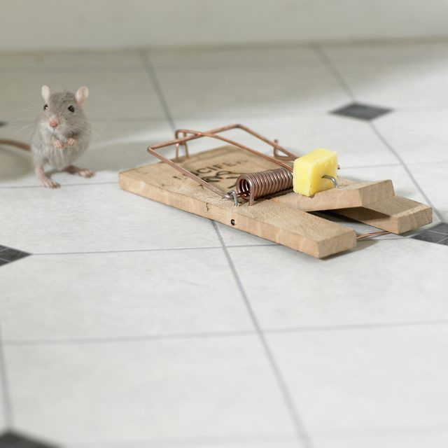 Mouse next to trap