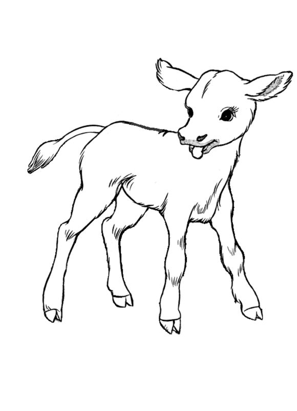 Farm Animal Coloring Pages Little Calf