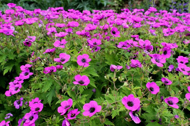 Spiering & Co | My Top 5 Perennial Geraniums