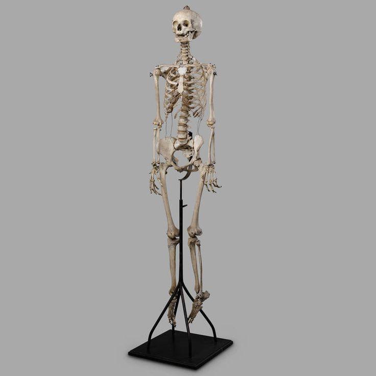 the 25+ best human skeleton images ideas on pinterest | human, Skeleton