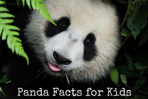 Panda Facts for Kids- Kid World Citizen