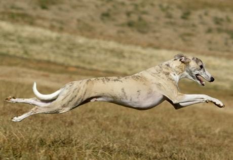 Google Image Result for http://images.akc.org/breeds/action_images/greyhound.jpg