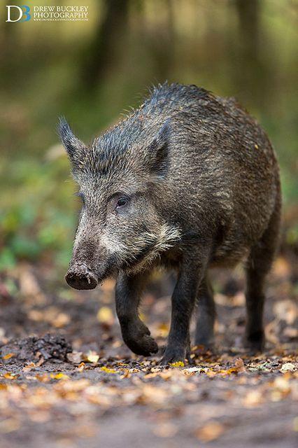 Wild Boar in Forest of Dean | Drew Buckley