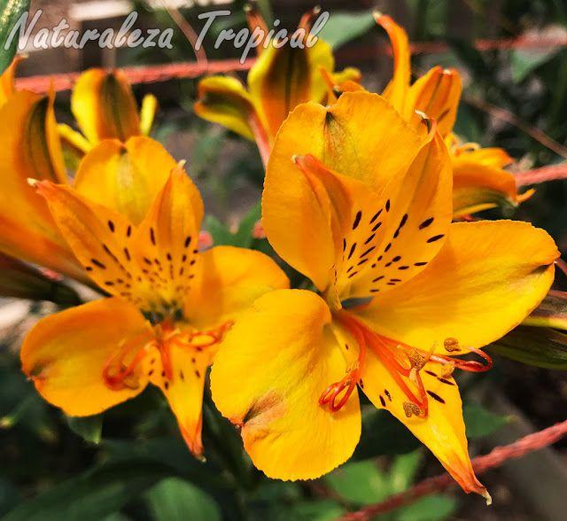 Lirio del Perú con flores amarillas manchadas, género Alstroemeria