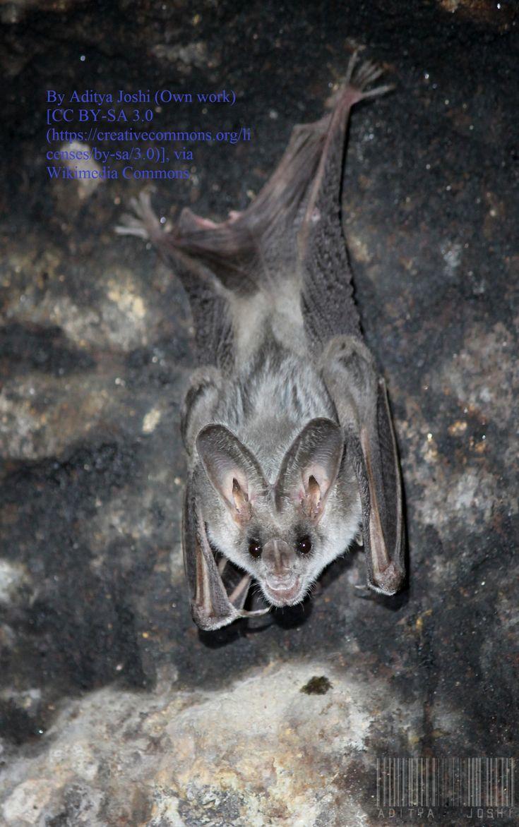 False coloring in animals - The Greater False Vampire Bat Beautiful Bat Facts