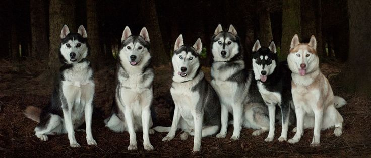 Huskies by Paul Walker