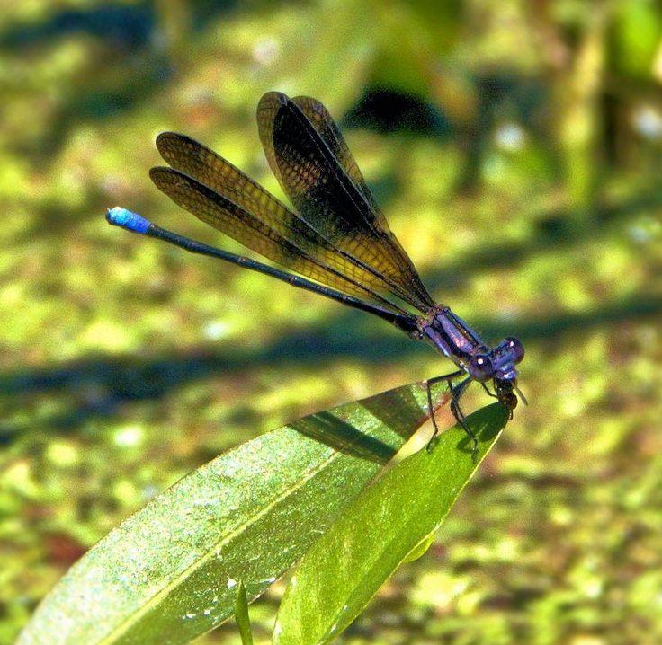 Damsel fly - null