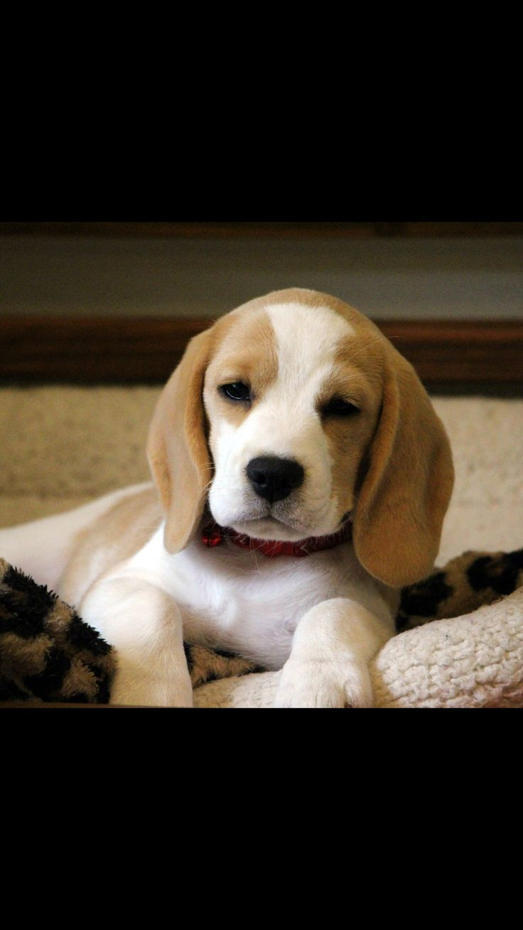 We Love Beagles – The Ultimate Guide To Beagles » Blog ...  |Lemon Beagle Puppies