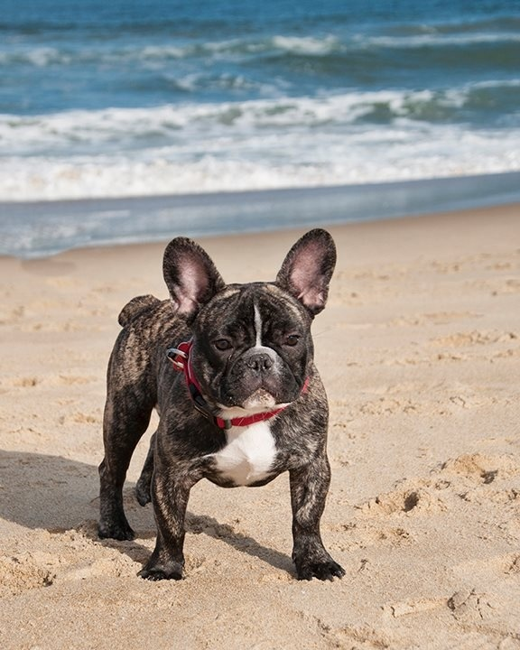 Hank on the beach in Sandbridge, VA. French bulldog, I