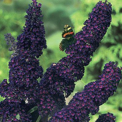 Buy Black Knight Butterfly Bush at Spring Hill Nursery