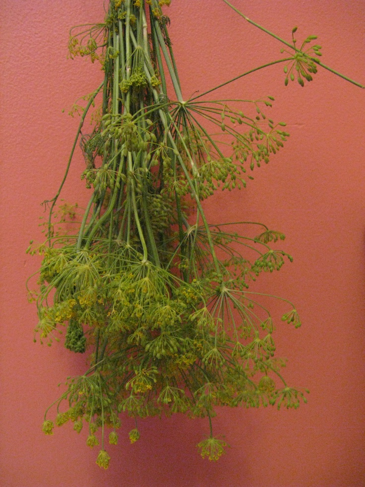 I'm currently drying dill for the winter time