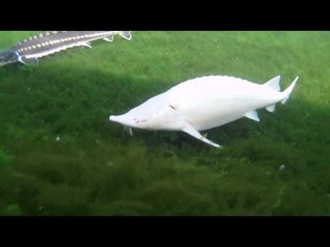 albino white sturgeon - Google Search
