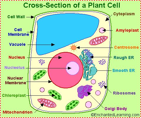 Parts of a Plant Cell. Good diagram for a Cell-ebrate Science project from ScienceWear.net