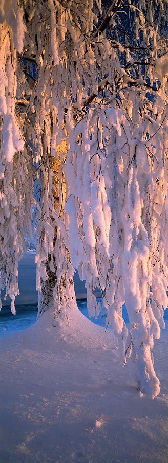 Birch tree covered with snow, Imatra, South Karelia, Finland