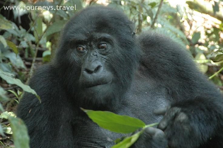 Gorilla tracking in Uganda/Rwanda. www.journeys.travel