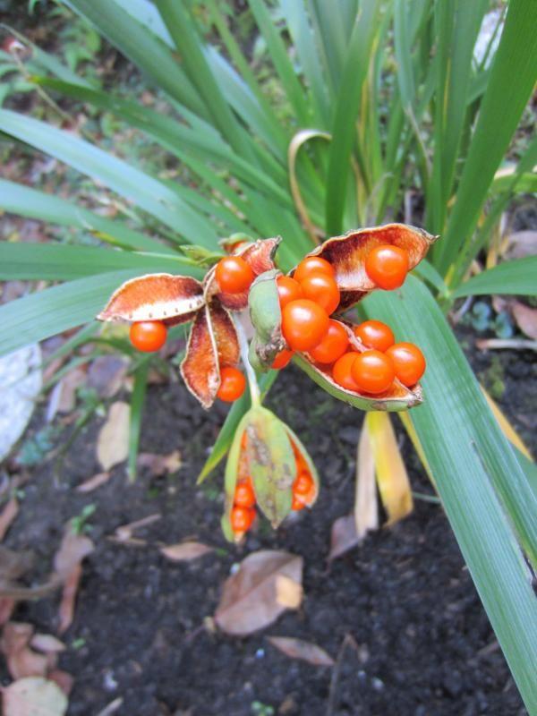 Stinkende lis (Iris foetidissima) | MijnTuin.org