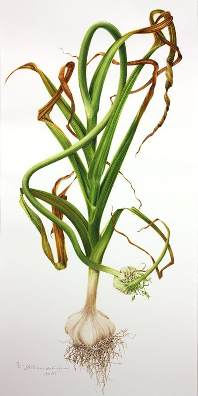 Tulipa spp.Cornus florida.  Allium sativum 2010. Milly Acharya.