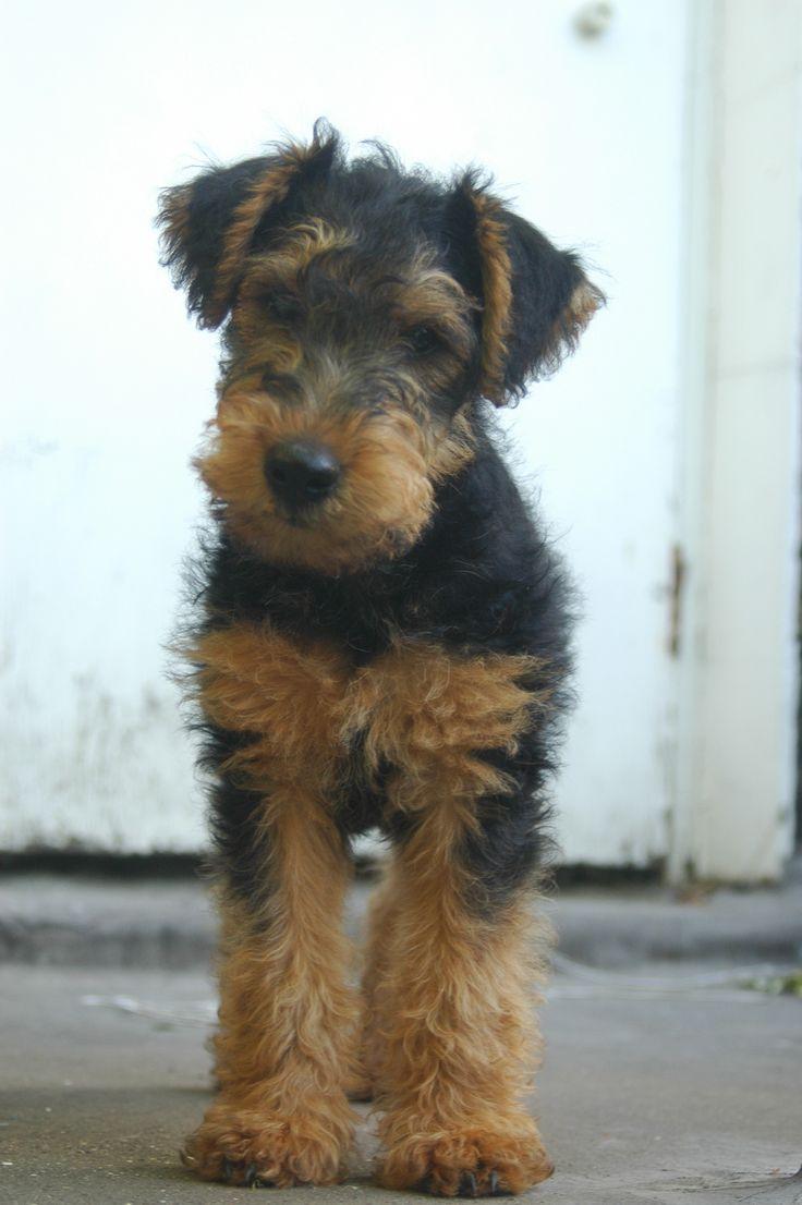 Atticus, Welsh Terrier, 2 months