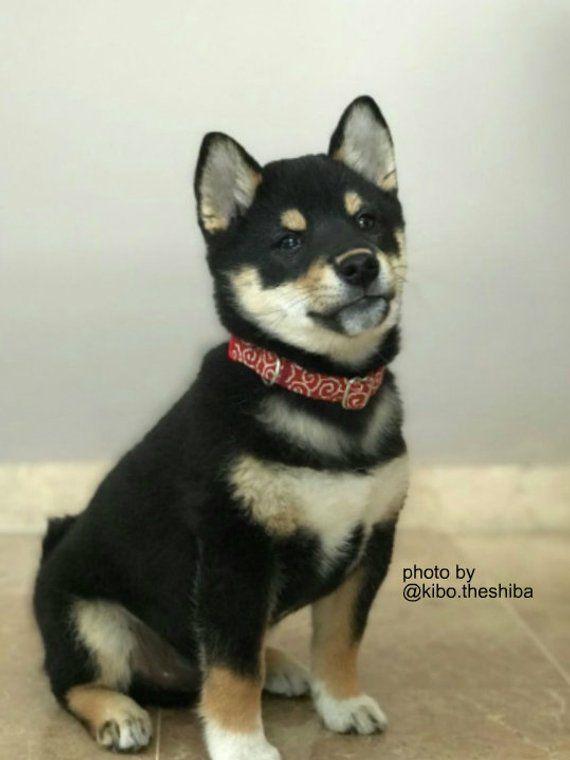 Brick Red Karakusa Puppy Collar Shiba Inu Dog Collar Girl Colar
