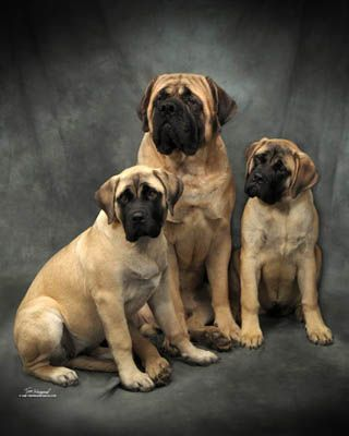 Large Dog Breed Information
