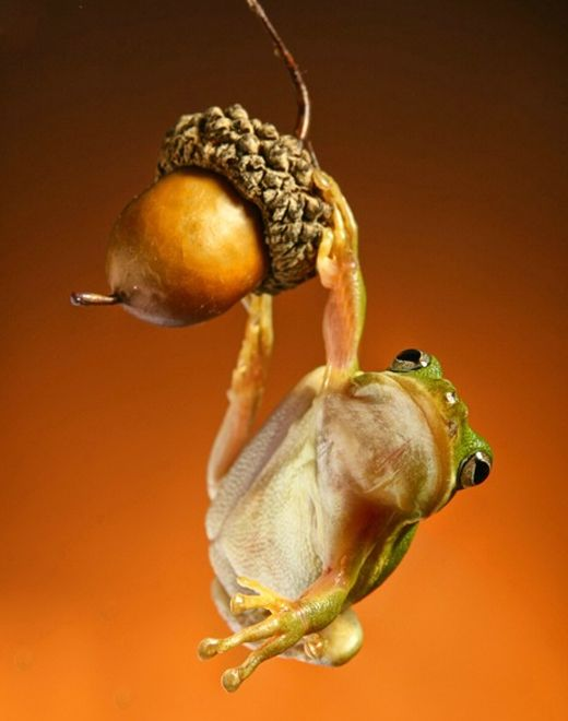 frog and acorn