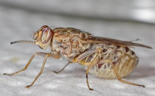 Genetic code of the deadly tsetse fly unraveled