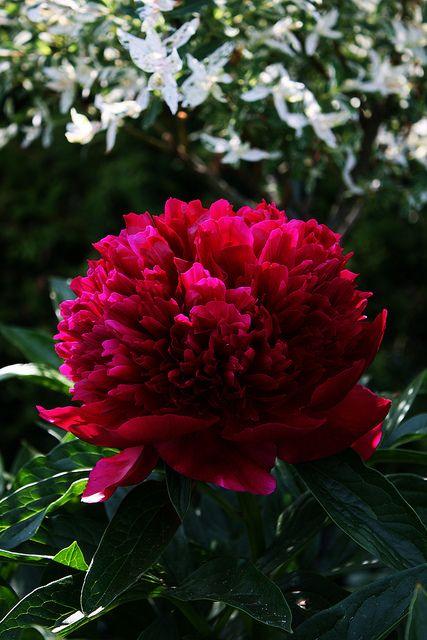 "Peony ""Red Charm"" & Salix Integra   Flickr - Photo Sharing!"