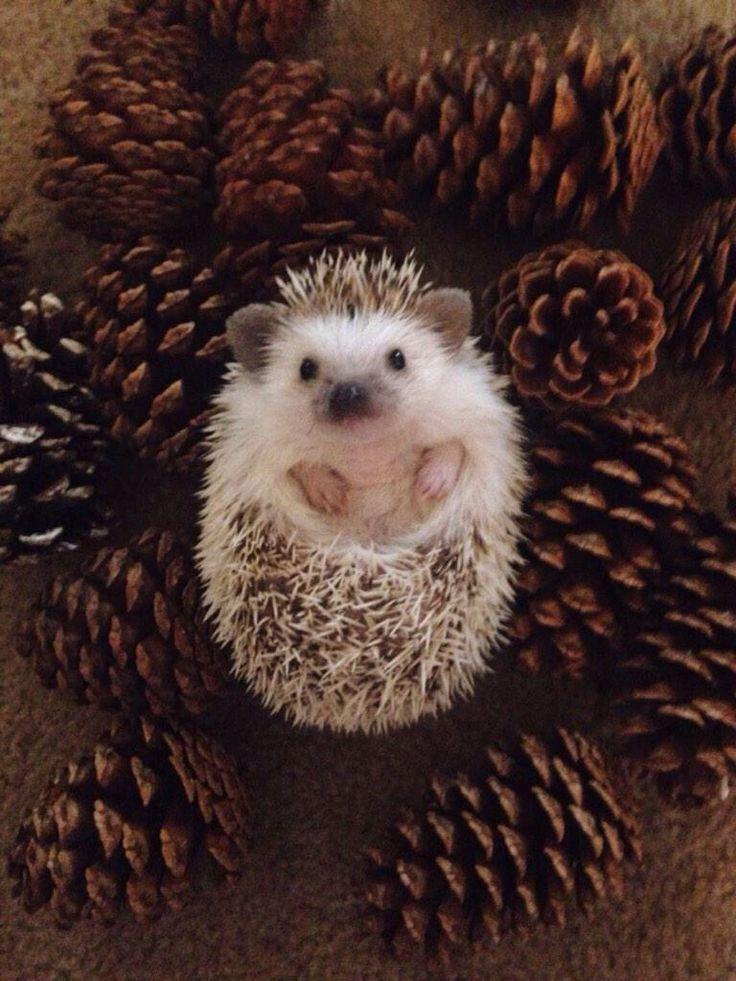 Cute hedgehog More