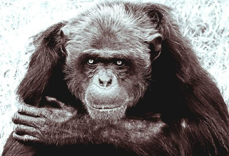 Trump likened to dominant male chimp by famed primatologist ...