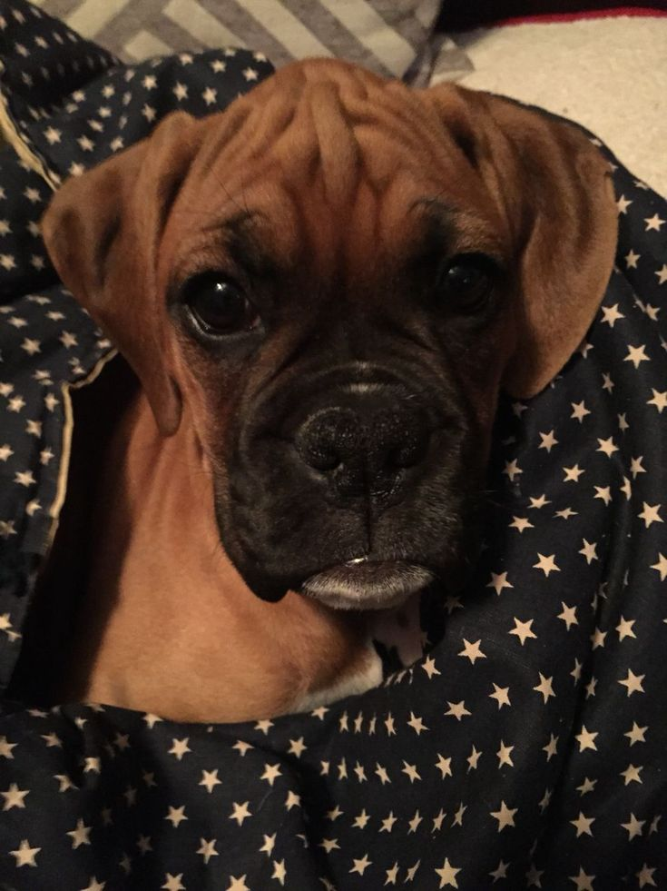 Boxer puppy cuddled in a blanket boxerpuppies boxer