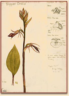 Rica Erickson - Botanical Art Works